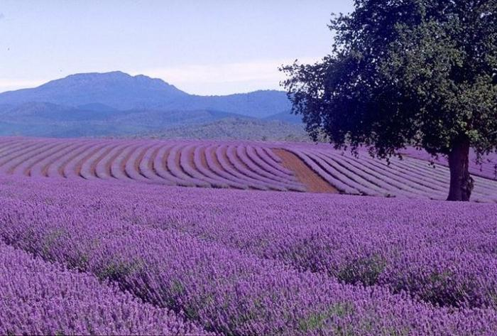 This magical color of lavender